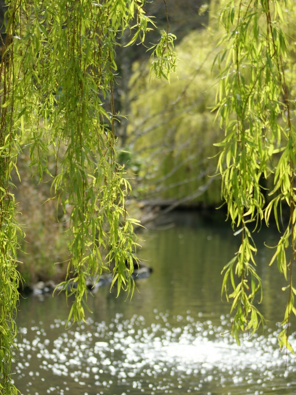 Willow by the river