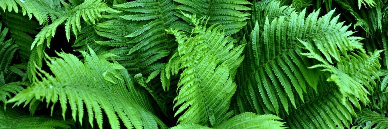 Artificial Green Wall Plant – Boston Fern (Nephrolepis Exaltata)